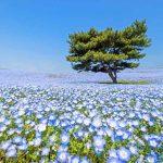 ที่เที่ยวญี่ปุ่น ทุ่งดอกไม้ เนโมฟีลา