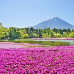 ที่เที่ยวญี่ปุ่น ทุ่งดอกพิงก์มอส