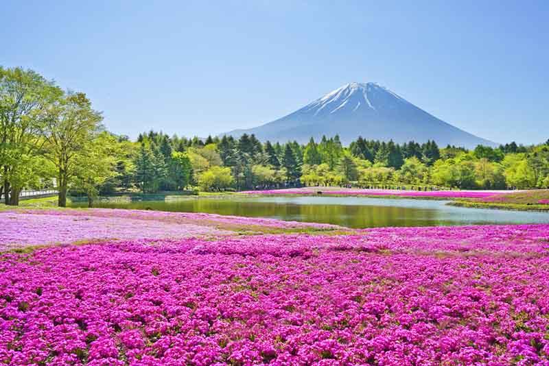 ที่เที่ยวญี่ปุ่น อุโมงค์ดอกวิสทีเรีย