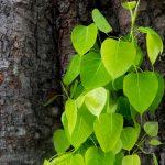 ต้นโพธิ์ สมุนไพรไทย